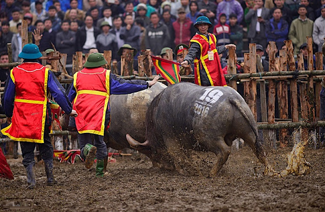 Buffalo Fighting Festival in Hai Luu, Vinh Phuc province 6