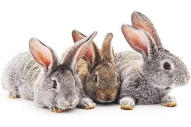 Polícia francesa investiga assassinato em série de coelhos