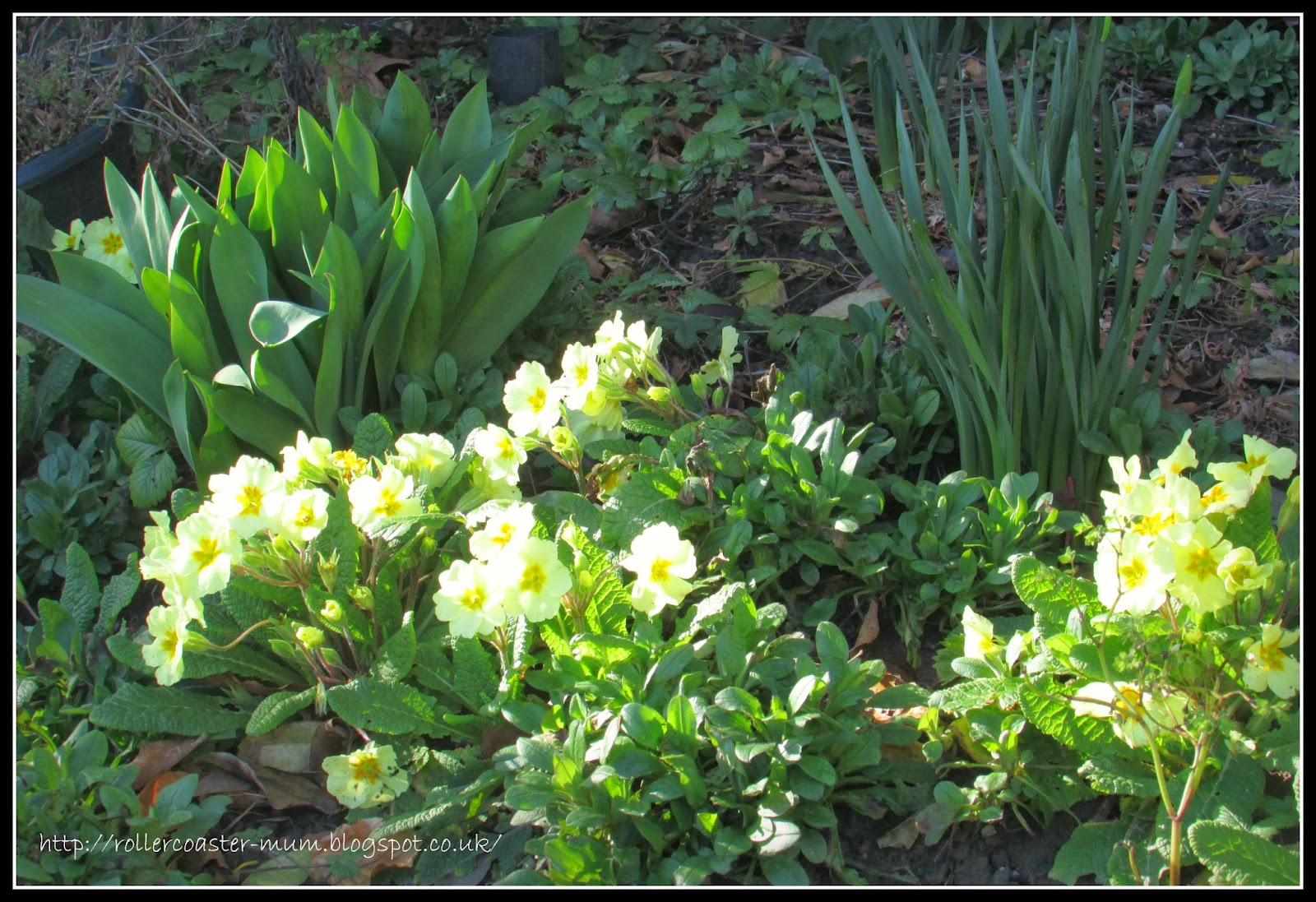 yellow primroses, spring flowers