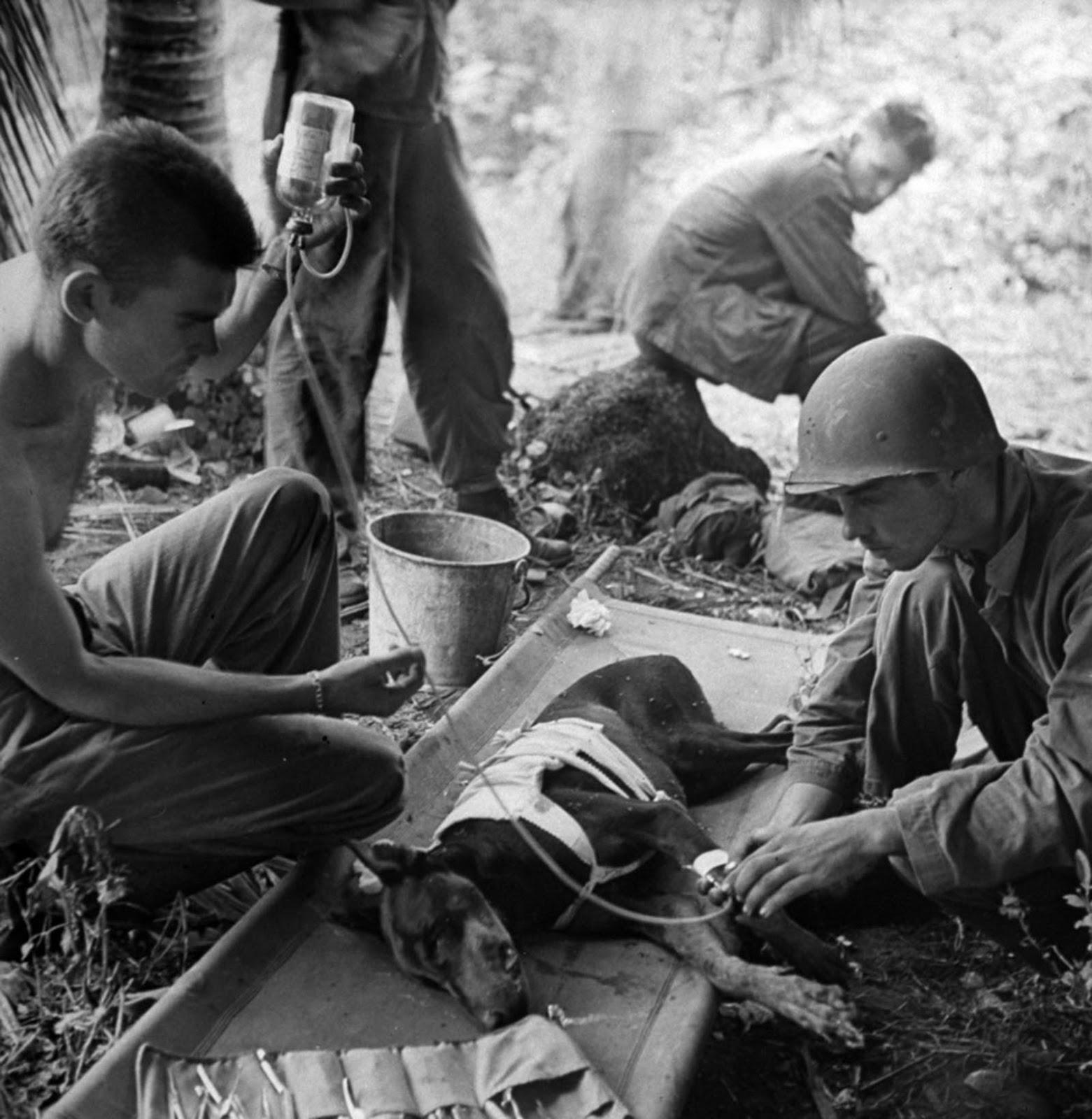 Las tropas estadounidenses tratan a un perro herido en Orote Pennisula, Guam, 1944.