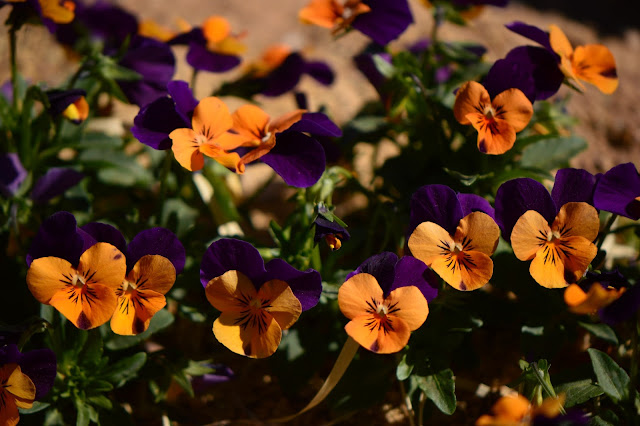 violas, garden bloggers bloom day, gbbd, desert garden, february, small sunny garden, amy myers