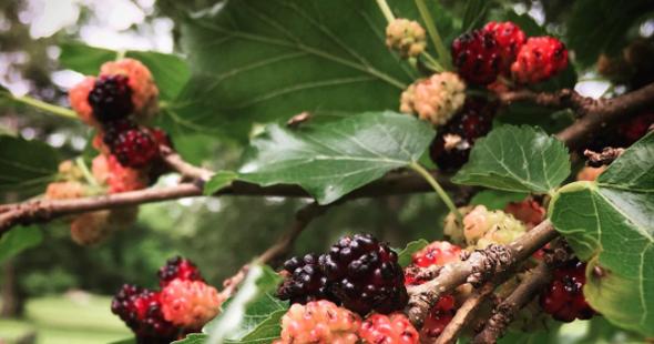 Letter Blocks Say What Harvest Mulberries