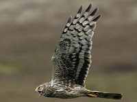 harrier bird pictures