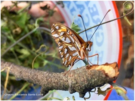 Mariposa espejito recién salida del capullo - Chacra Educativa Santa Lucía