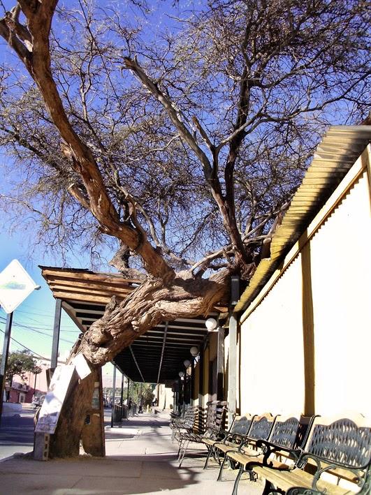 Urbatorivm los secretos del algarrobo centenario frente a for Tambores para agua potable