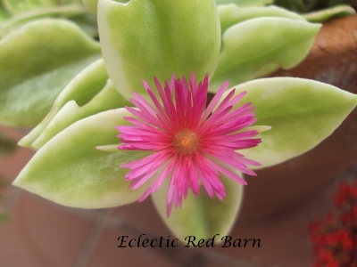 Eclectic Red Barn: Livingstone Trailing Red Daisy