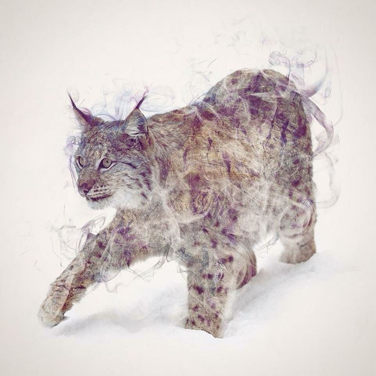 01-Lynx-Daniel-Taylor-Ghostly-Animals-in-Manipulated-Photographs-www-designstack-co