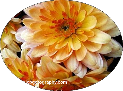 Chrysanthemums in oval shape-cut out