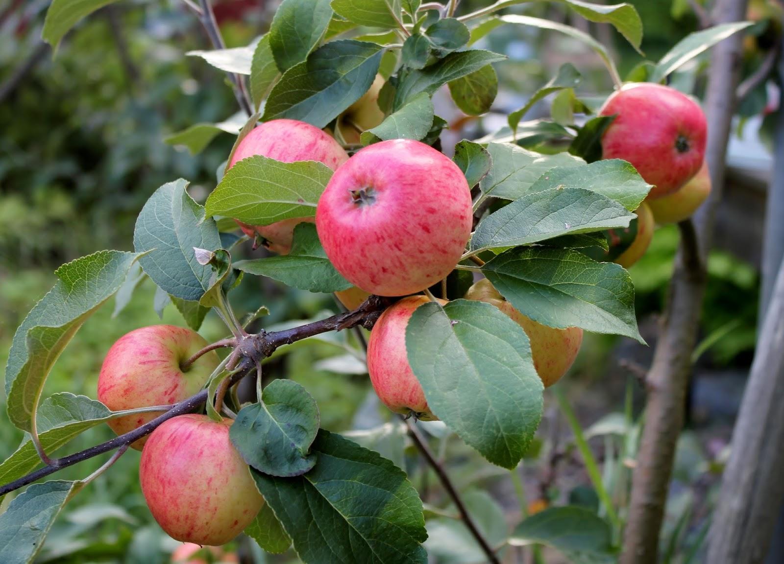 Omenoiden Kuivaus