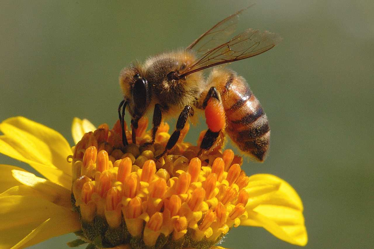 ... reason why bee pollen can help alleviate inflammation and allergies