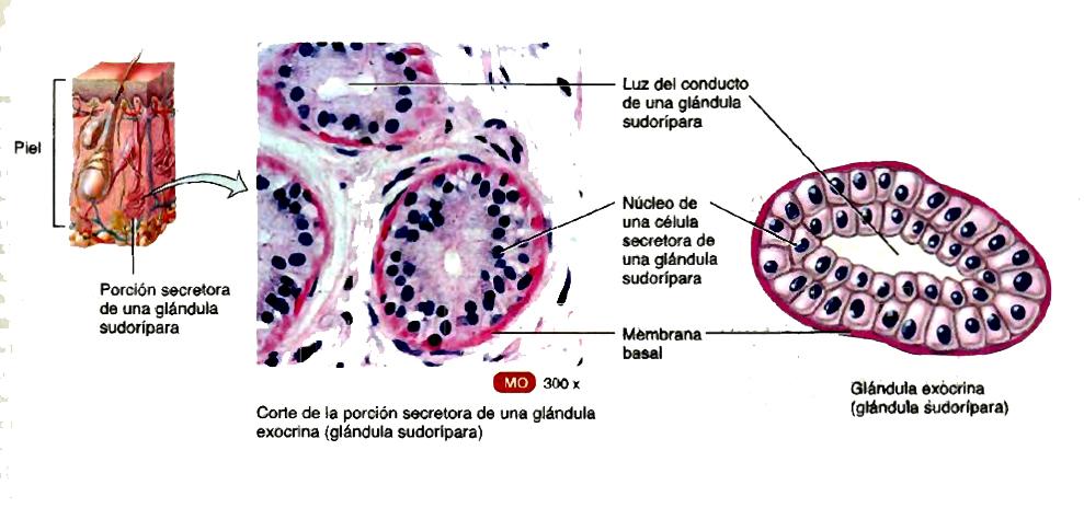 AMIGOS PARA SIEMPRE: Artículos de Anatomía humana