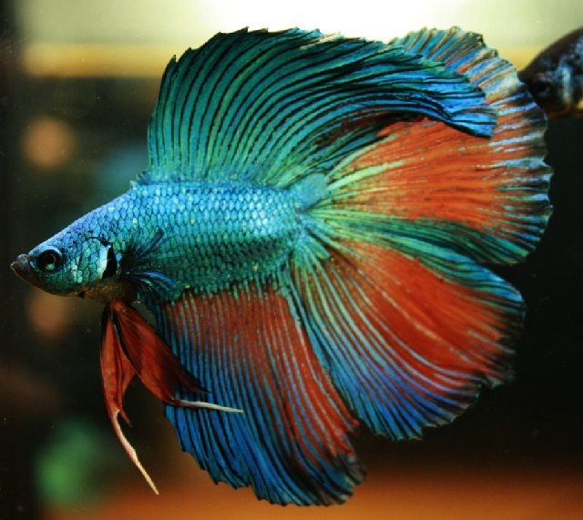 Cara Nyalon Ikan Cupang Untuk Merapikan Sirip Dan Ekornya