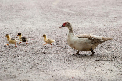 Penentuan Sistem Pemeliharaan Bebek Harus Dilakukan Dalam Peluang Usaha Ternak Bebek