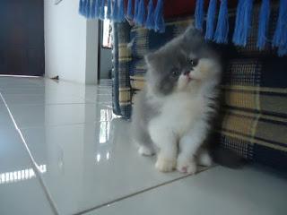Gambar Kucing Peaknose