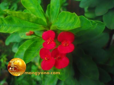 FOTO : Bunga Euphorbia di halaman rumah admin.