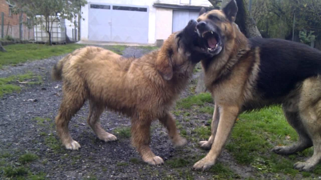 Russian Bear Dog Vs Pitbull