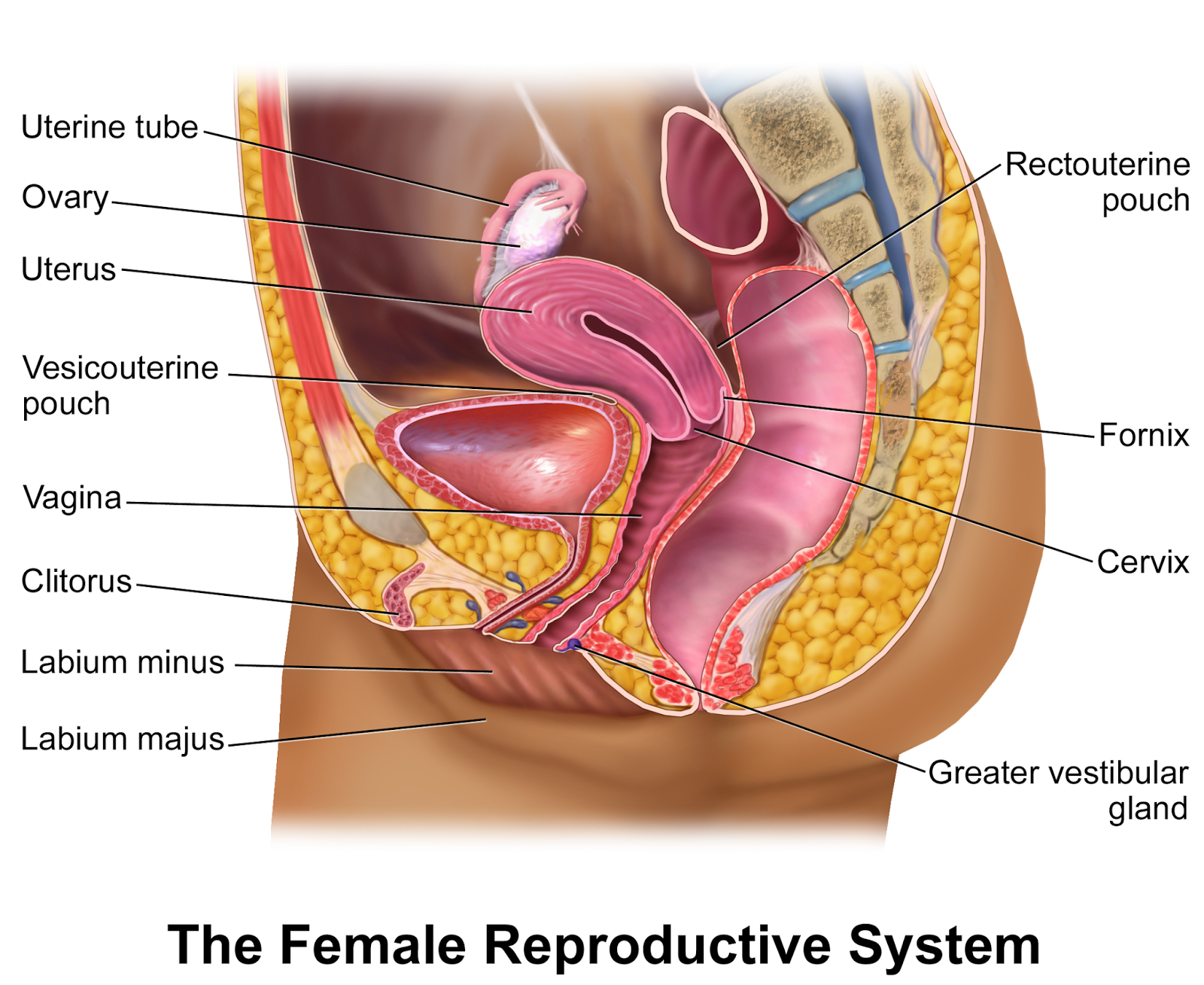 "Know About The Vagina   The vagina is a muscular ""barrel"" about 3-4 inches long, in its non-aroused state, lined with mucous membranes, similar to the lining of the mouth.    The vagina is angled upward at around a 65 degree angle, which very closely corresponds to the angle of the average erect penis.    The vagina isn't a wide-open gaping hole. It's a collapsed space that expands and contracts when excited or penetrated. When in a non-aroused and un-penetrated state, the walls of the vagina collapse against each other, sort of like a fire hose.     The vaginal lining is pink and glistening and has folds, called rugae, which give the vagina a ribbed texture. These folds are much more pronounced in younger women and gradually disappear as a woman grows older.     The vagina stretches out when the lady gets excited. The cervix and uterus pull up and back, extending the vagina by about 1-3 inches. The back of the vagina balloons out to create more space.    2/3 of the nerve endings in the vagina are located in the first 1/3 of the vagina.     The first 2 inches of the vagina are the tightest during intercourse, due to the vaginal swelling and engorgement of blood.    Vaginas of sexually mature women are elastic enough to accommodate nearly any sized penis.    Around 1 in 5000 women is born with a disorder called vaginal agenesis, in which they are born without a vagina, in spite of the presence of external genitalia, such as labia and a clitoris.     Shortly after stimulation, the vagina begins to lubricate, forming what looks like beads of sweat all over the vaginal walls."