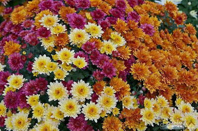 Color Variety, Mums