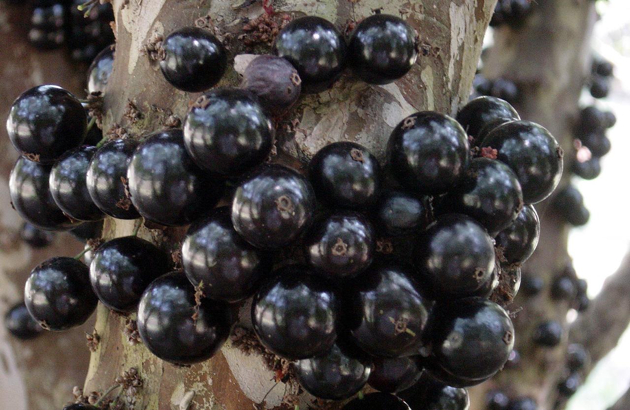 Prevenga la prediabetes y el hígado graso con extracto de cáscara de jaboticaba