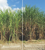 Normal sugarcane (left) growing beside engineered PETROSS sugarcane, which is visibly taller and bushier, in field trials at the University of Florida. (Credit: Fredy Altpeter/University of Florida, CC BY-ND) Click to Enlarge.