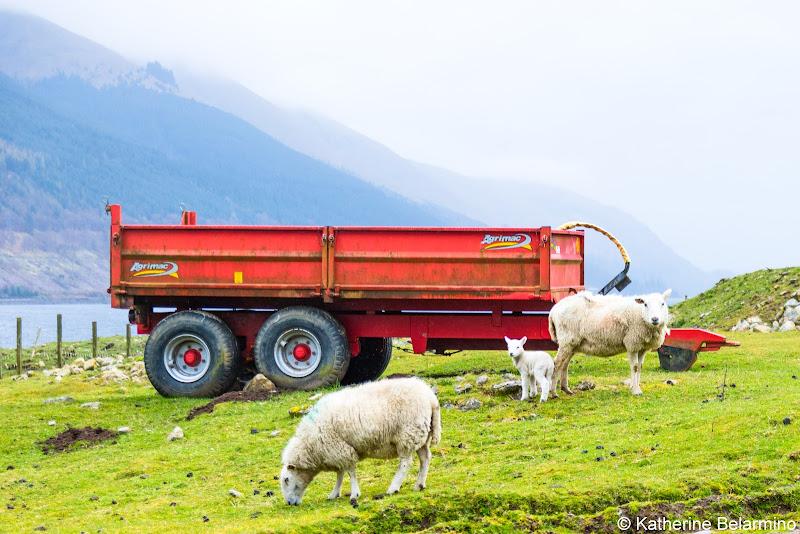 Scottish Highlands Sheep and Lamb Scotland Cruise Caledonian Discovery