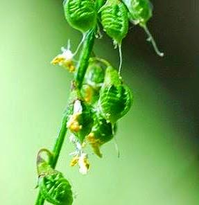 Fruto (Melilotus officinalis)