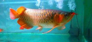 Ikan arwana super red termahal di dunia