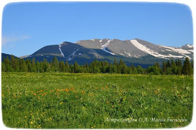 гора с ледниками, альпийский луг, хвойный лес