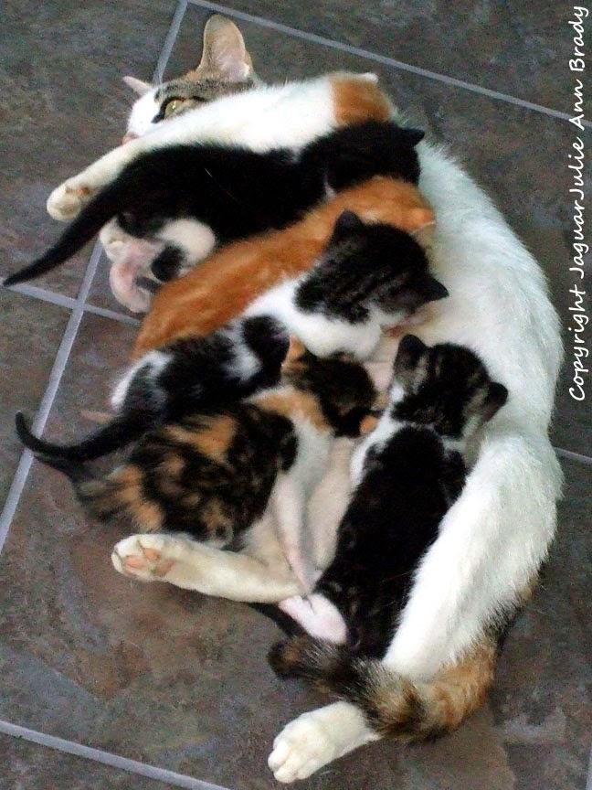 White Mommy Cat Nursing her Six Baby Kittens