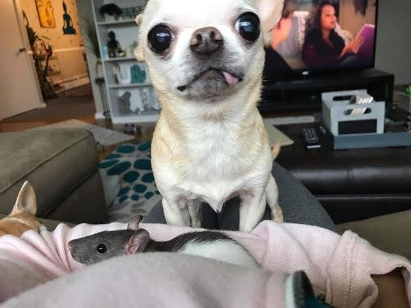 Chihuahua getting along with a domesticated rat on their owner's lap