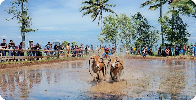 Foto+Pacu+Jawi+Sumatera+Barat