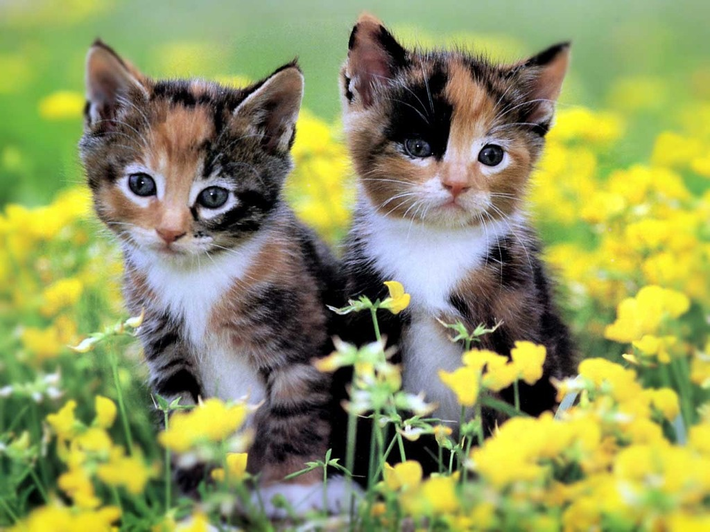 Cute kittens wallpapers wallpapers - Kitten backgrounds ...
