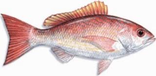 Kakap Vermillon