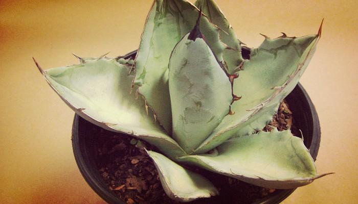 Plantas bellas suculentas