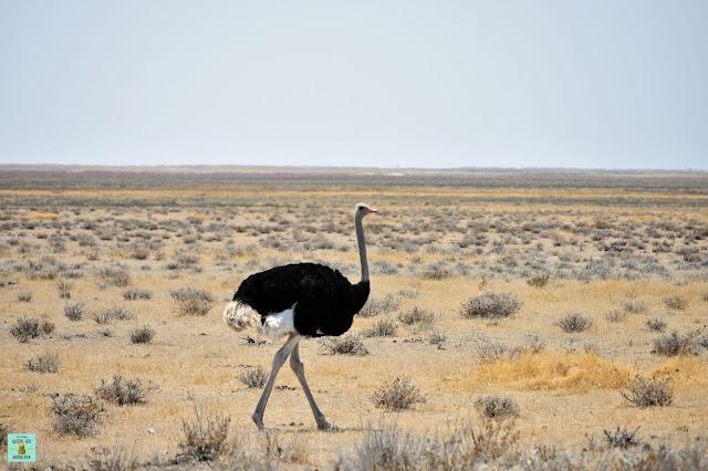 Avestruz en Parque Nacional de Etosha, Namibia