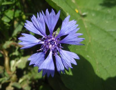 Aciano (Centaurea cyanus)flor silvestre azul