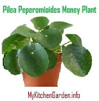 Pilea Peperomioides Money Plant