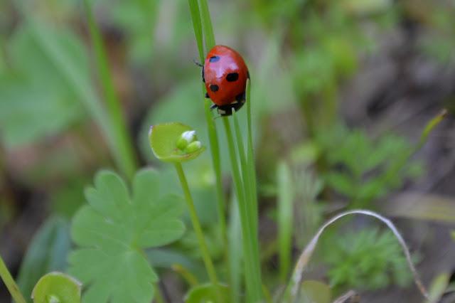 big red ladybug