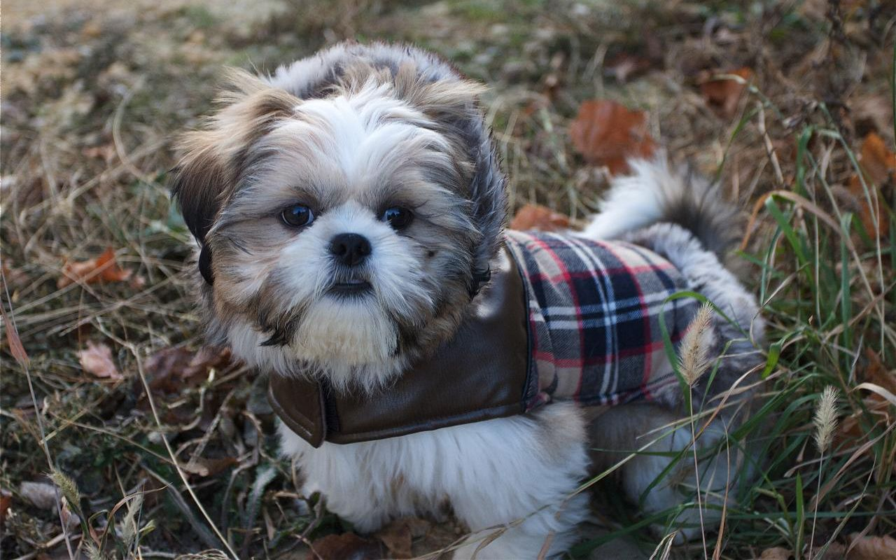 shih tzu puppis puppy image picture photo review 8630