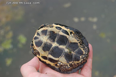 Plastrón de un juvenil de galápago leproso
