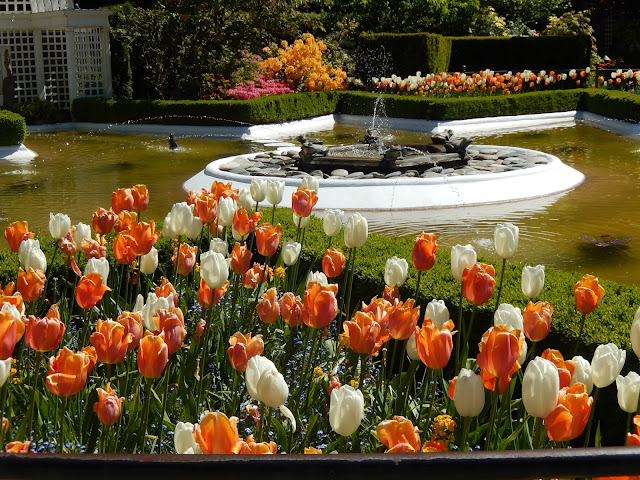 orange and white tulips, Vancouver Island