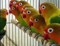 Love Bird Kacamata Fischeri ( kepala emas )