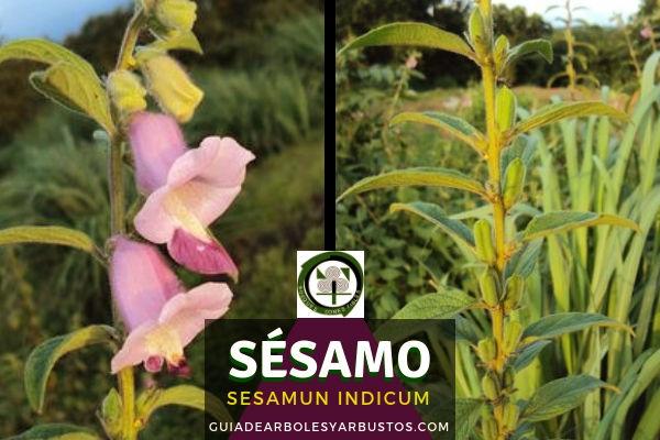 Sésamo o ajonjolí, Sesamun indicum, planta que se obtiene un aceite amarillo pálido