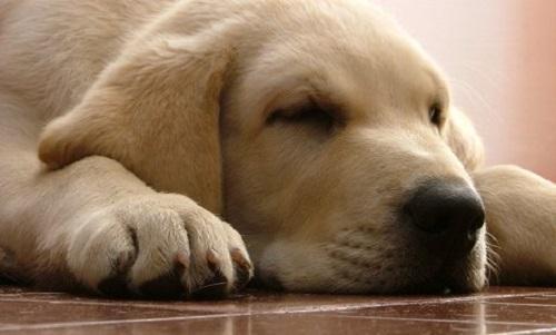 Bệnh suy thận ở chó