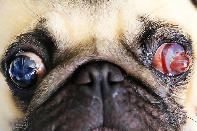 ruptured globe dog