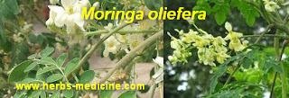 Herbal for diabetes use moringa oleifera