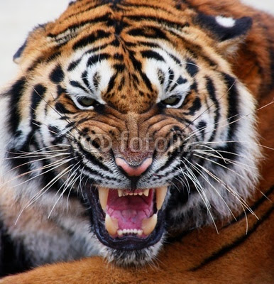 angry tiger face wallpaper - photo #20