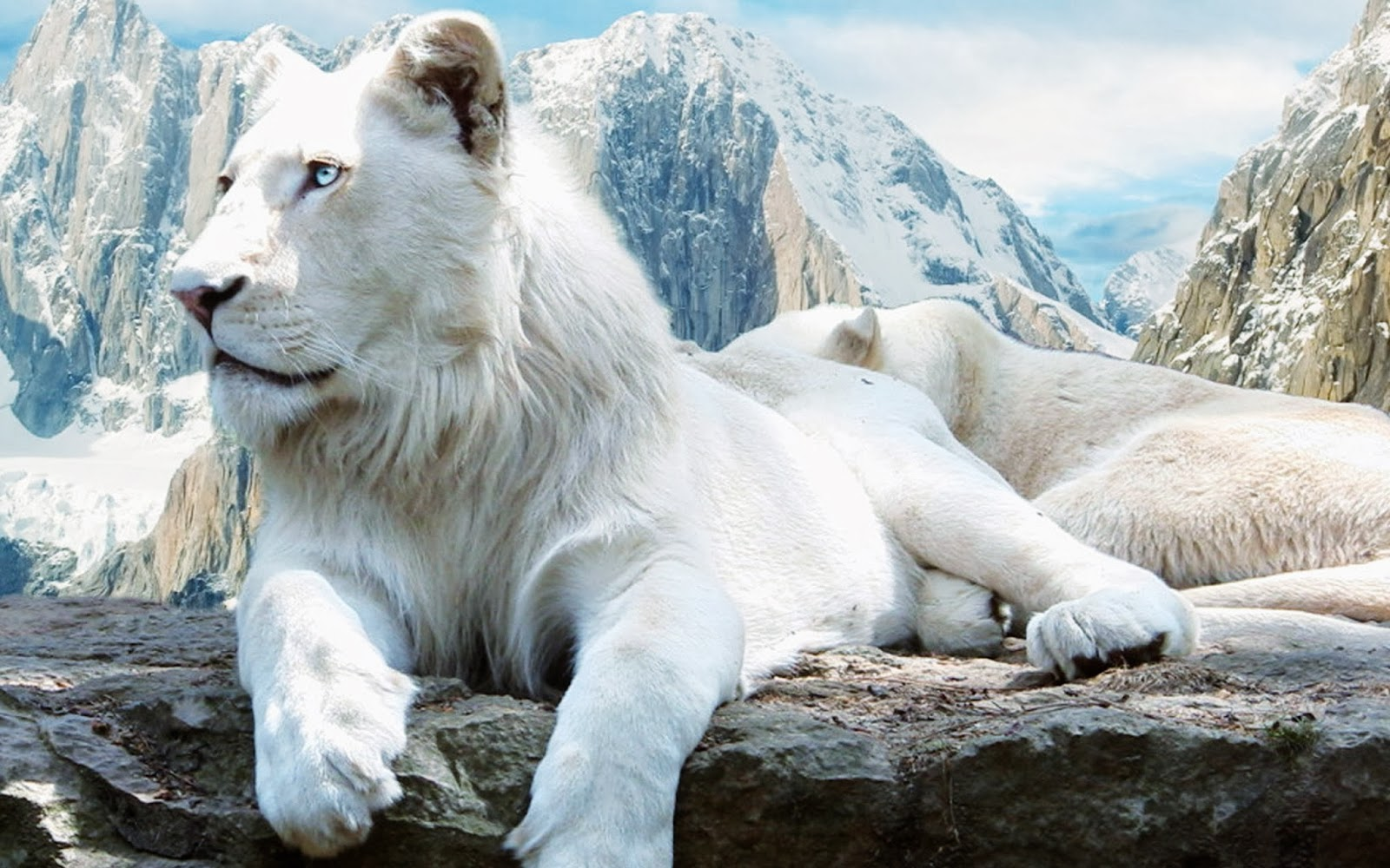White Lions HD Funny Wallpapers ~ Funny Wallpapers