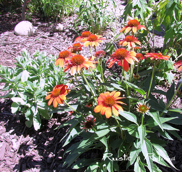 July blooms easy to care for perennials rustic refined for Easy maintenance perennials