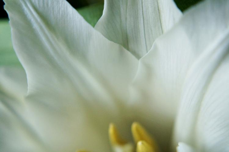 Adern einer weißen Tulpe mit spitzen Blättern { by it's me! }